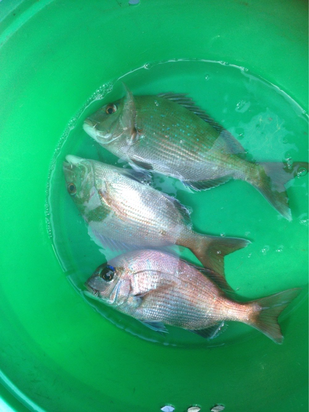 シンさんさんの投稿画像,写っている魚は
