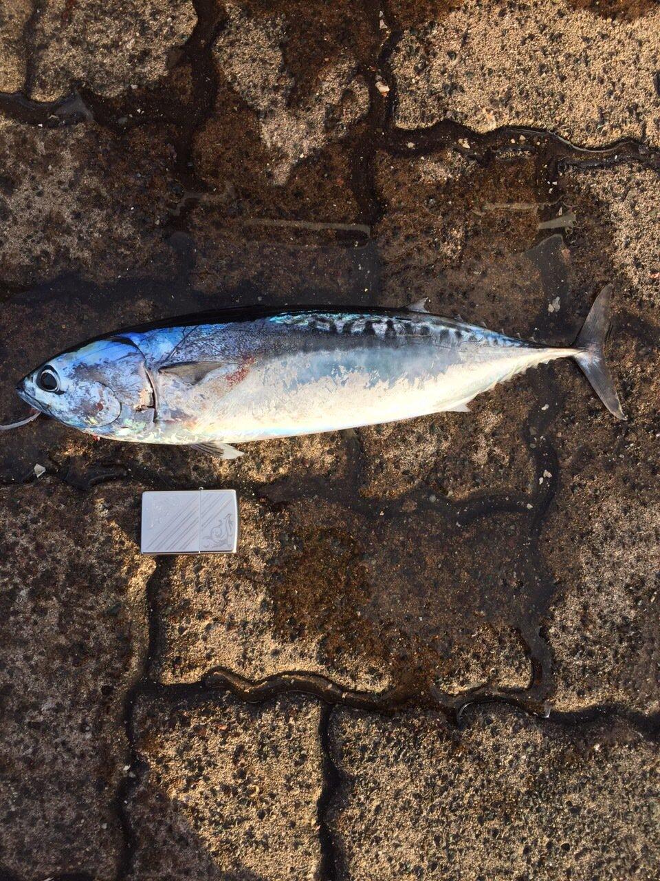 まいにち爆釣さんの投稿画像,写っている魚はカツオ