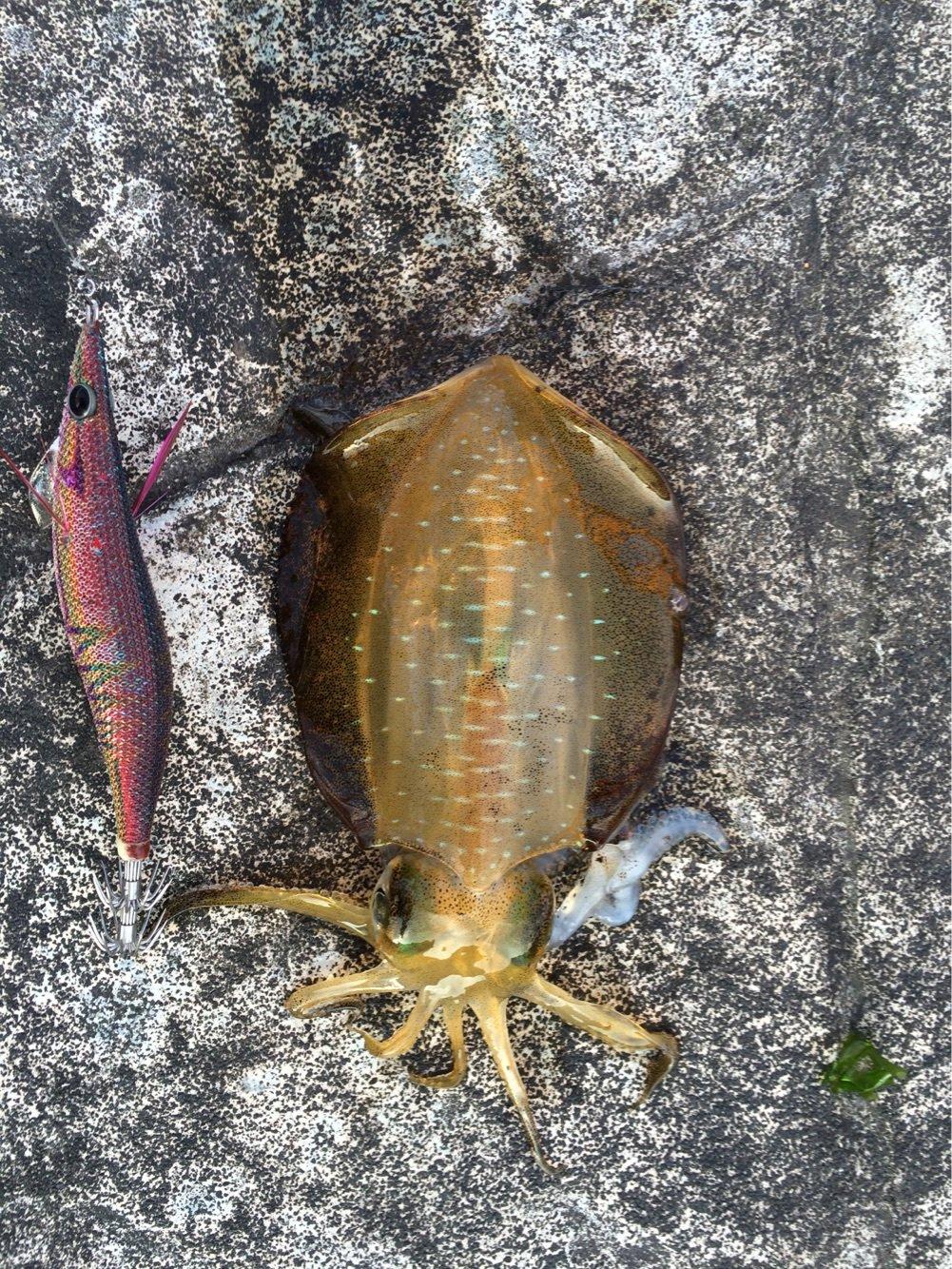 浜風さんの投稿画像,写っている魚はアオリイカ