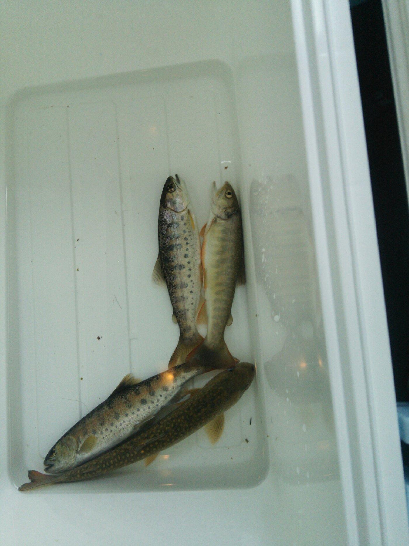 こうすけさんの投稿画像,写っている魚はヤマメ