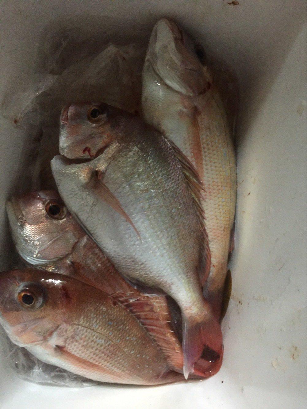 ミナミさんの投稿画像,写っている魚はマダイ