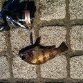 ひろヒロさんの神奈川県でのシロメバルの釣果写真