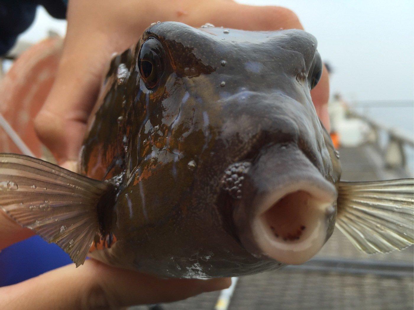 さっとんさんの投稿画像,写っている魚はハコフグ