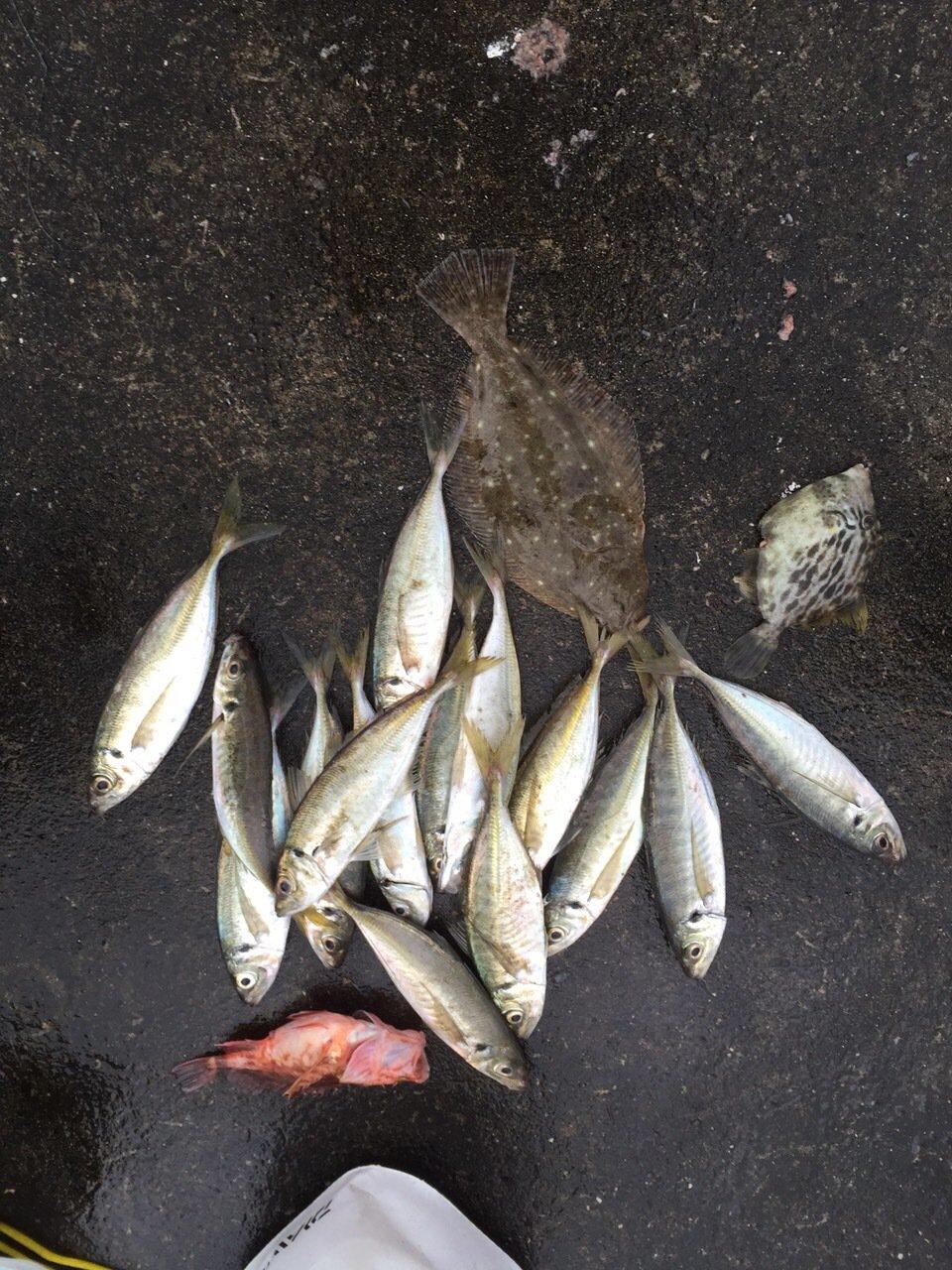 ゆうりパパさんの投稿画像,写っている魚はアジ