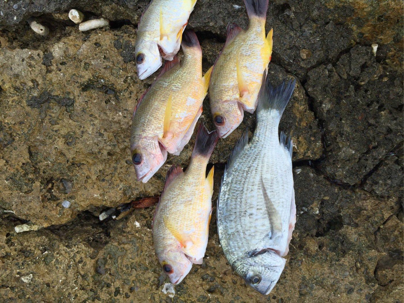 ハジメさんの投稿画像,写っている魚はクロダイ