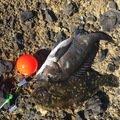 紋次郎さんの新潟県佐渡市でのクロダイの釣果写真