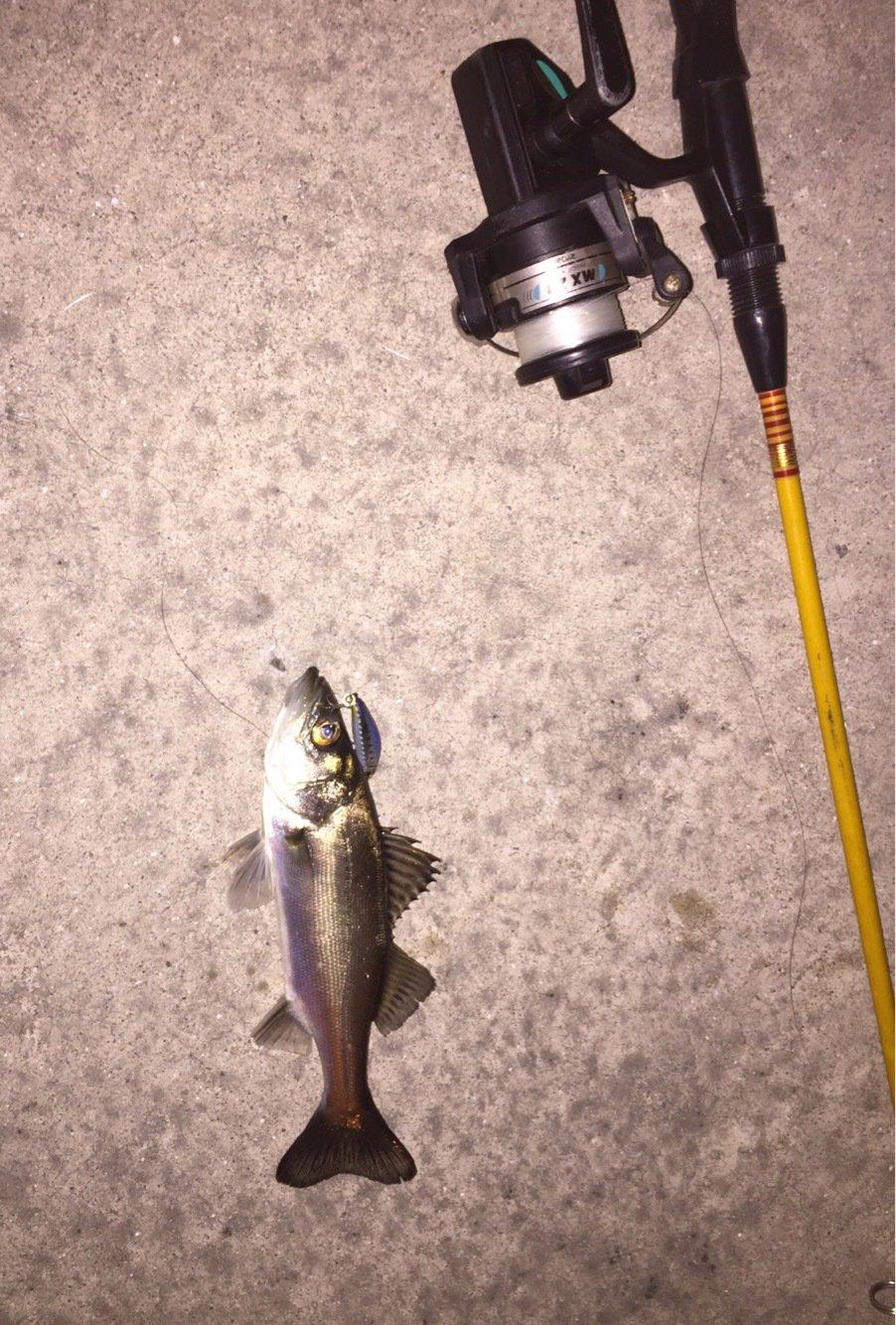 MITSUさんの投稿画像,写っている魚はスズキ