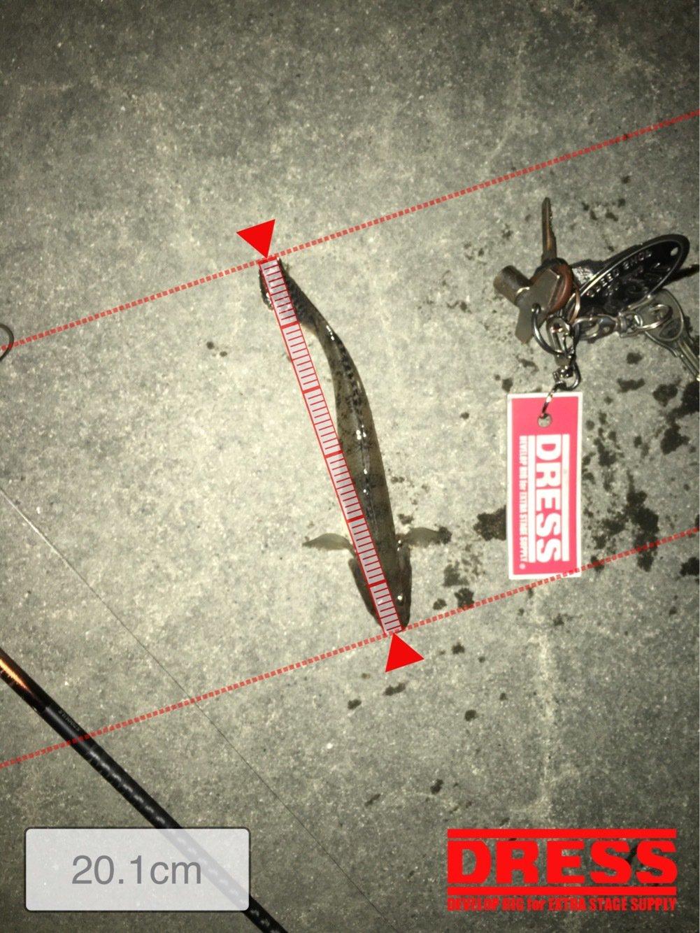 雷魚さんの投稿画像,写っている魚はマハゼ