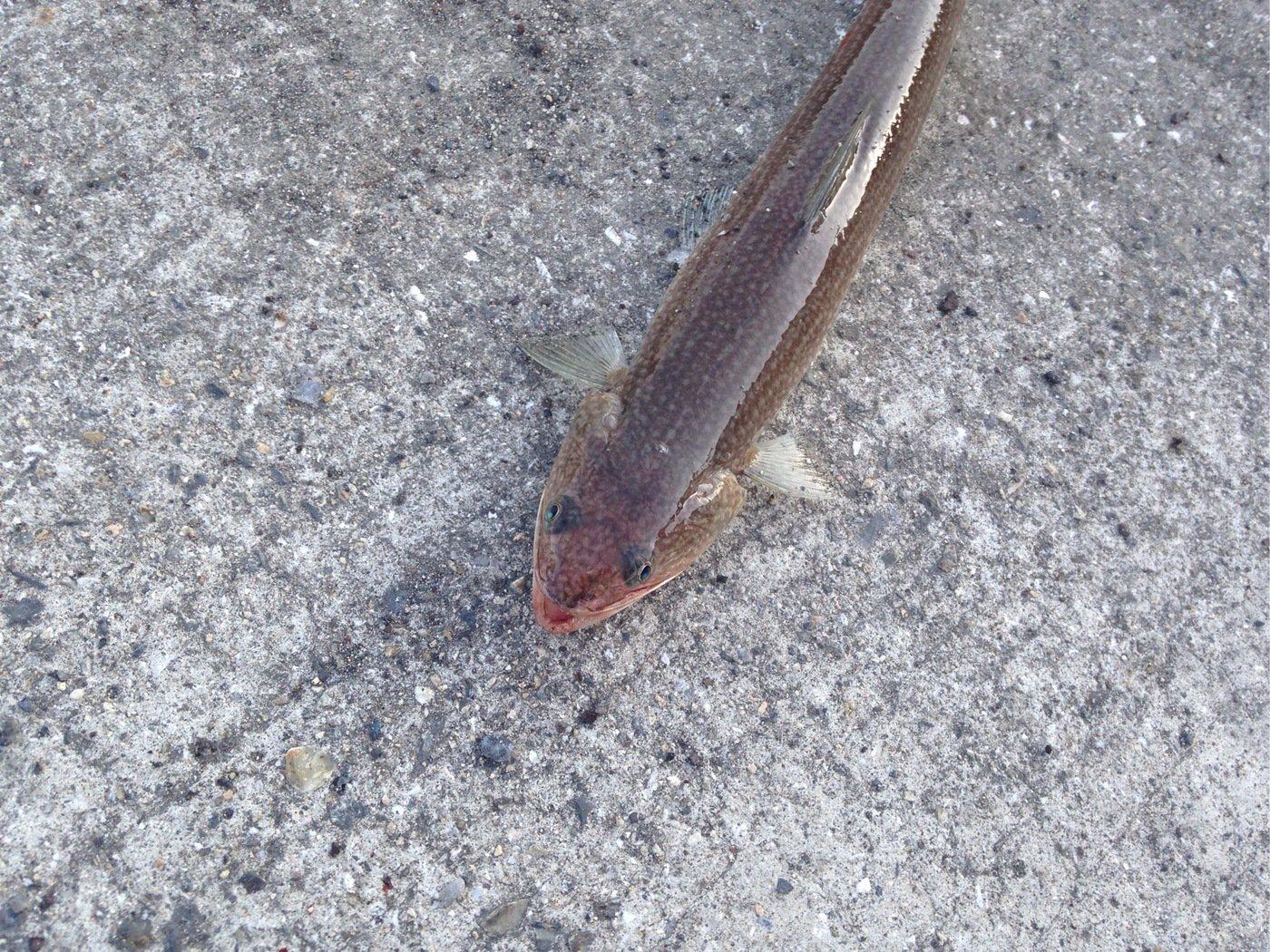 ヒキジリさんの投稿画像,写っている魚はエソ