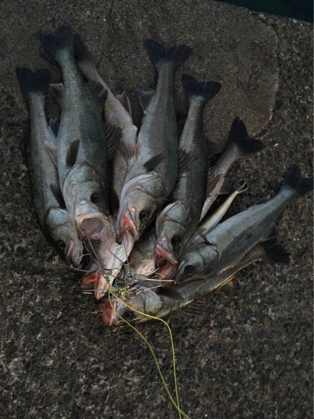fish hunter 05号さんの投稿画像,写っている魚はスズキ