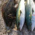 あっちゃんさんの山形県東田川郡での釣果写真