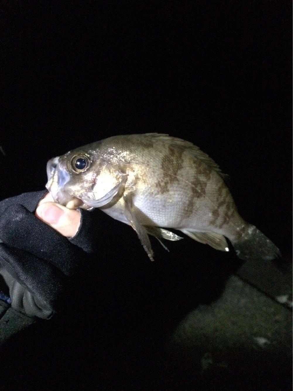まらかすさんの投稿画像,写っている魚はメバル