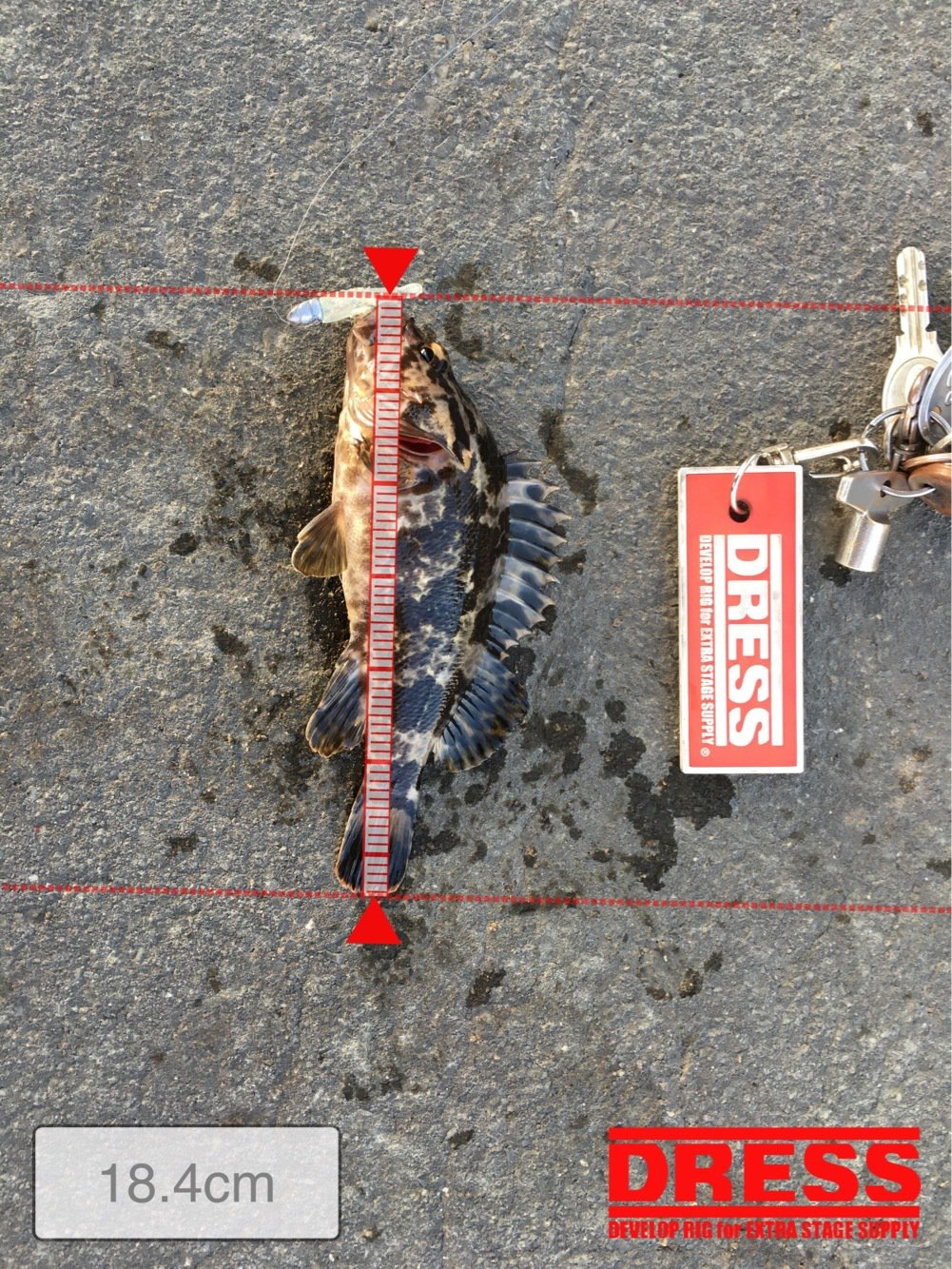 雷魚さんの投稿画像,写っている魚はタケノコメバル
