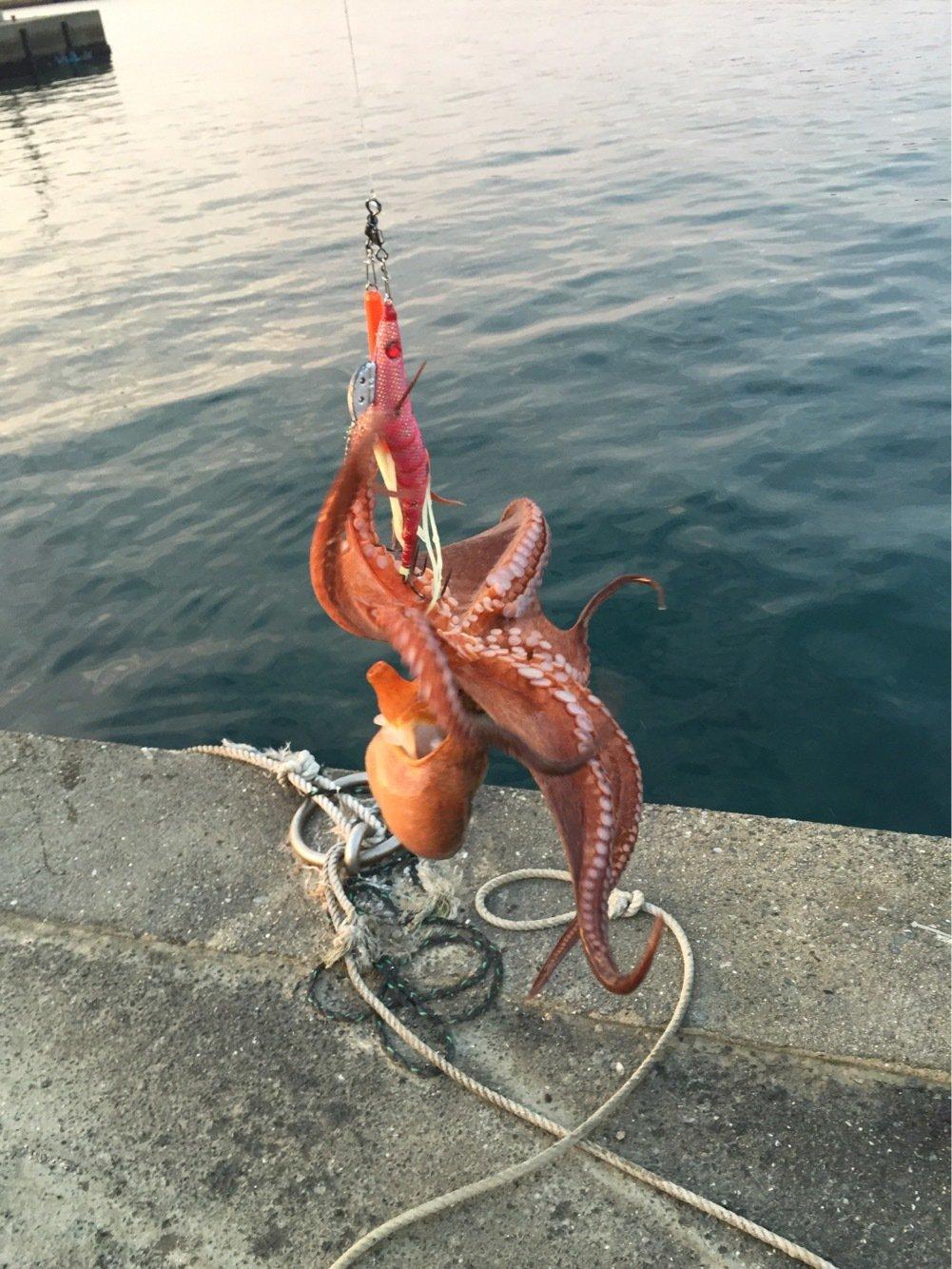 ヨシダさんの投稿画像,写っている魚はマダコ