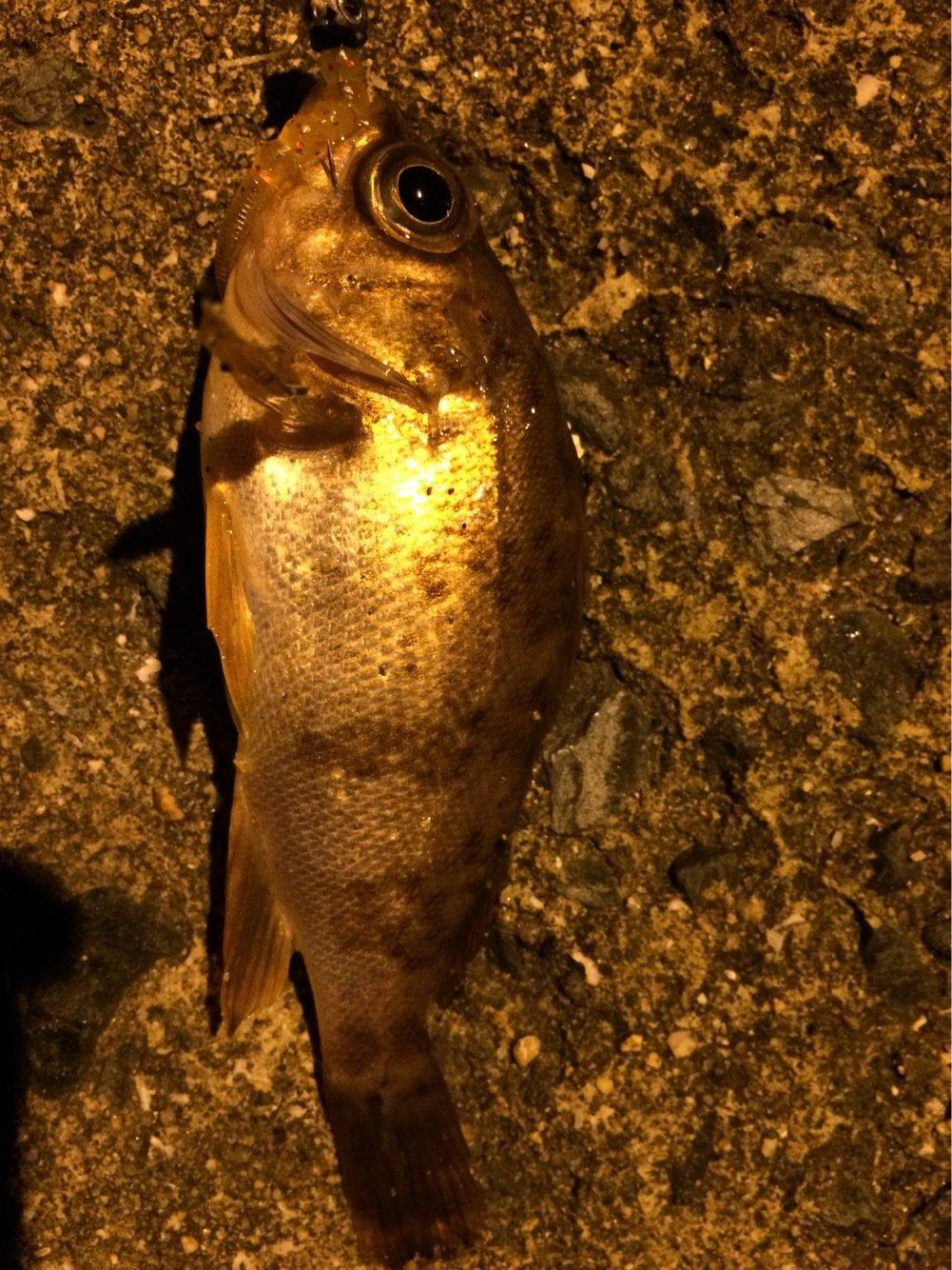 まきさんの投稿画像,写っている魚はアオメエソ