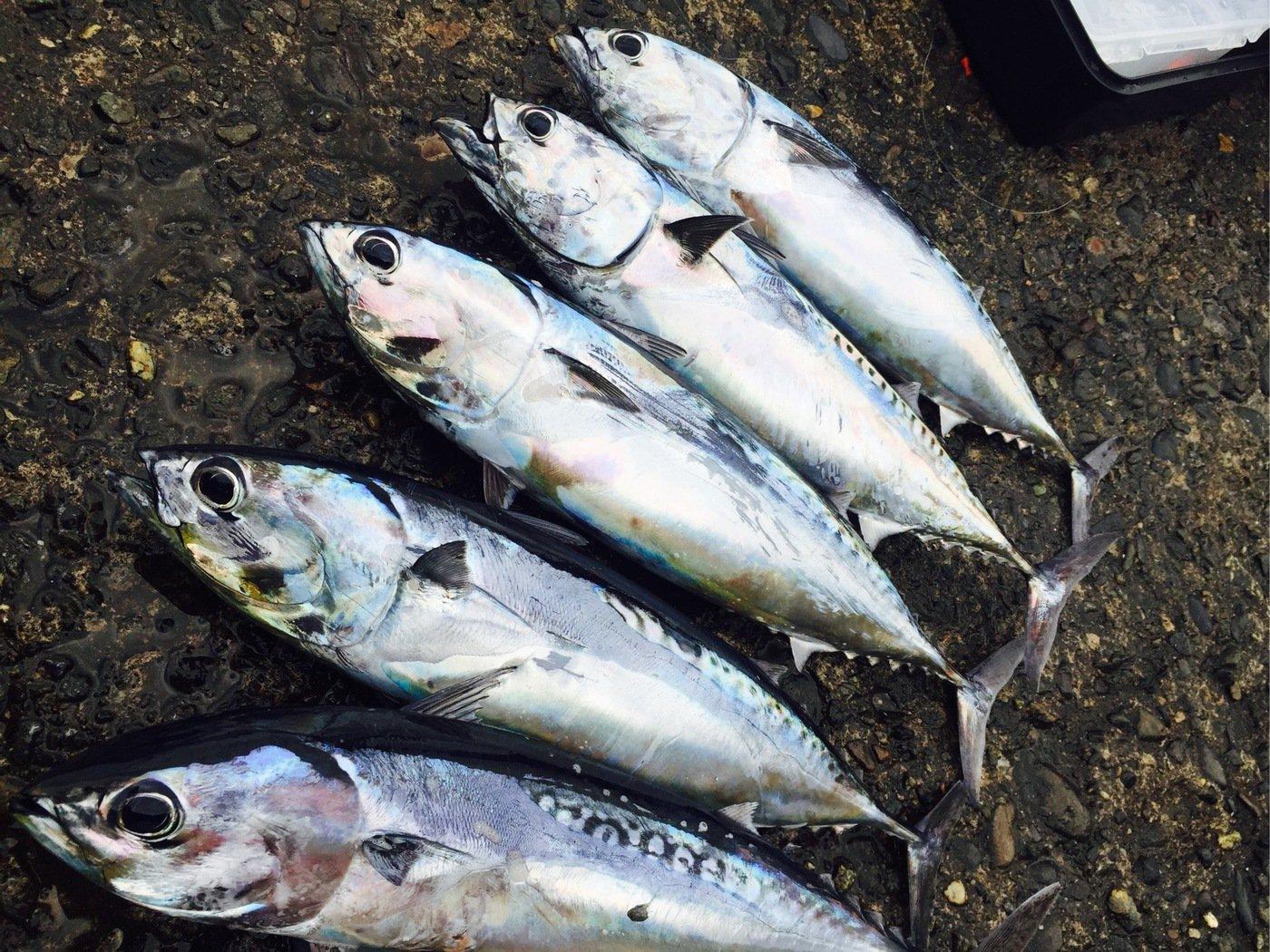まっちゃんさんの投稿画像,写っている魚はマルソウダ