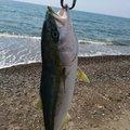 manbuさんの青森県北津軽郡でのワラサの釣果写真