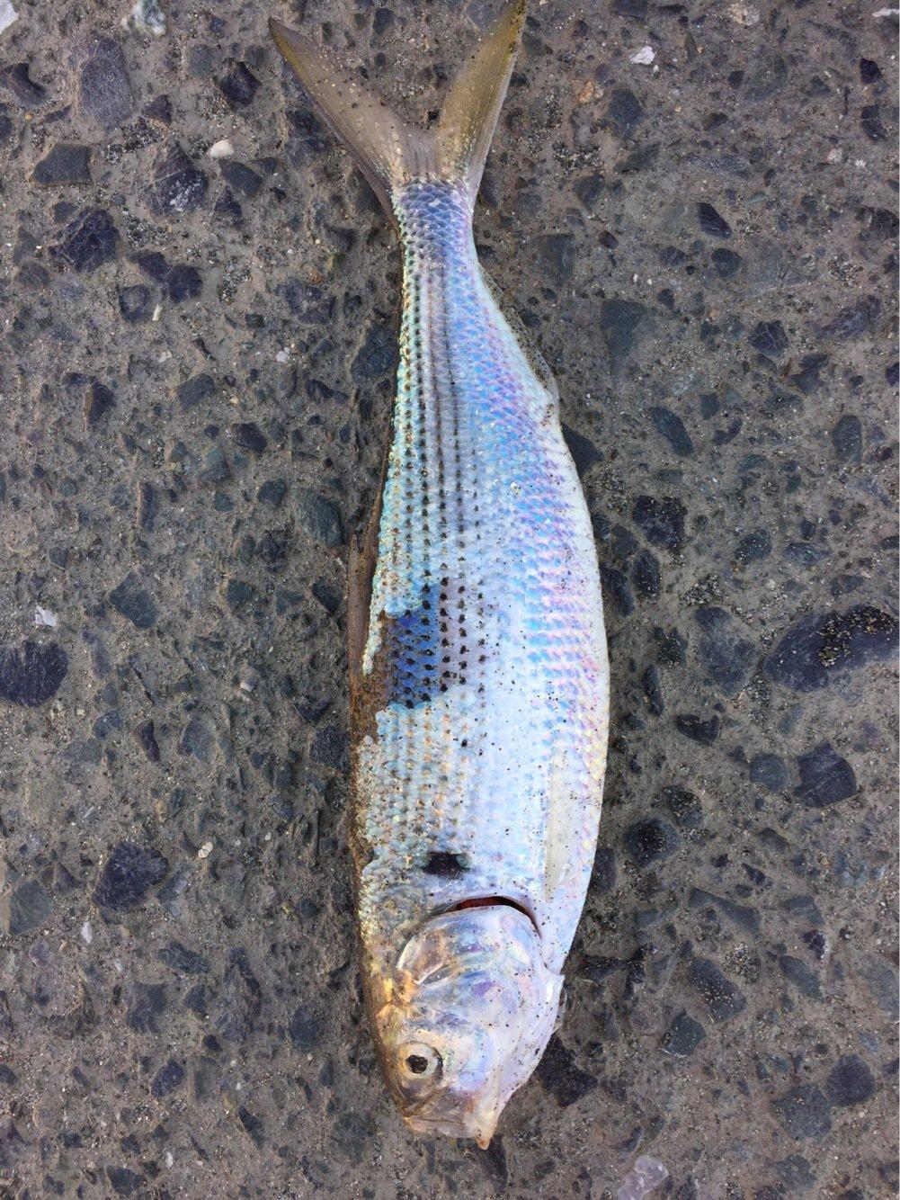 ぐ〜〜さんの投稿画像,写っている魚はコノシロ