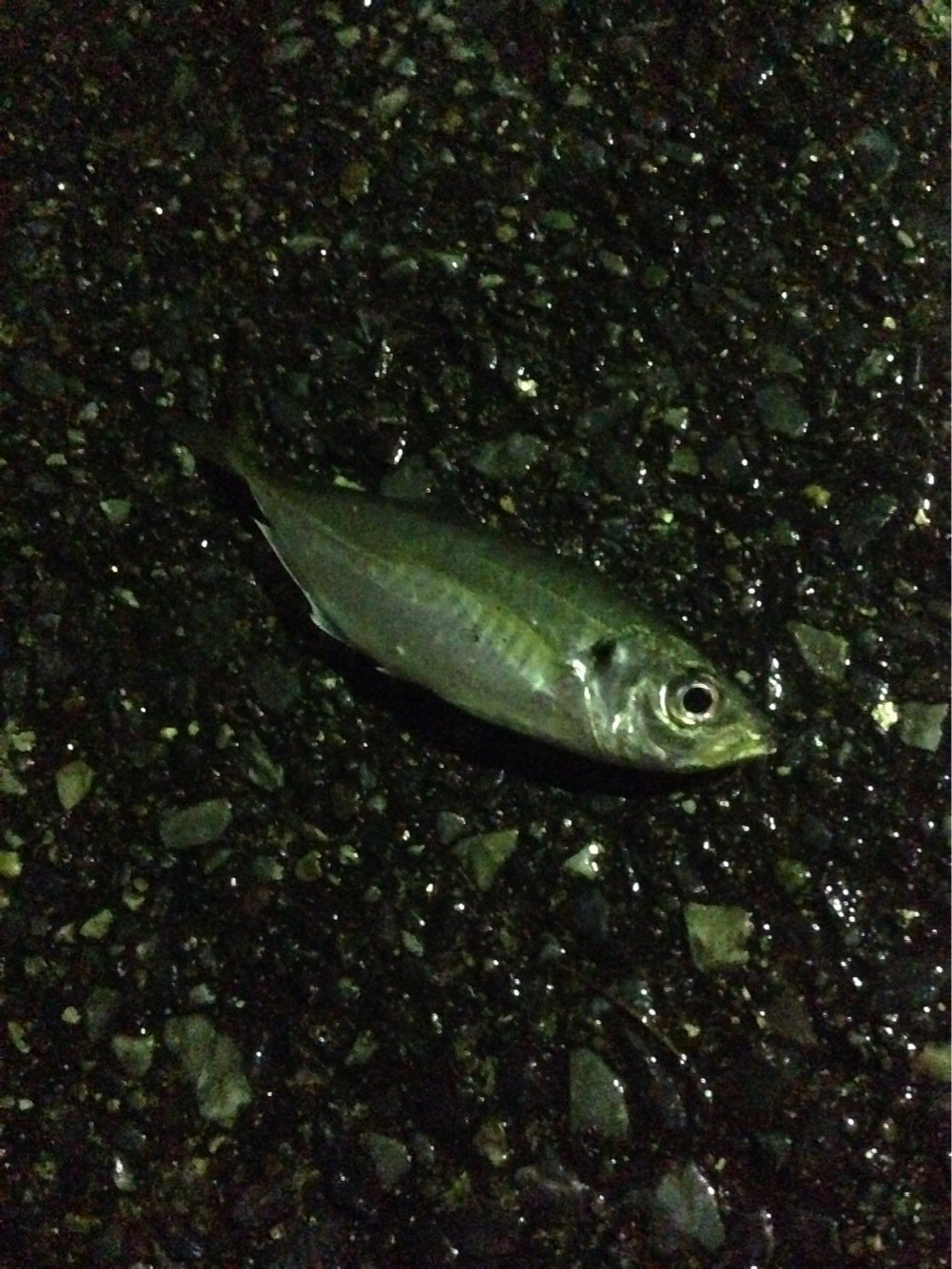 梅吉さんの投稿画像,写っている魚はアジ