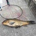 でかちょうさんの愛知県北名古屋市での釣果写真