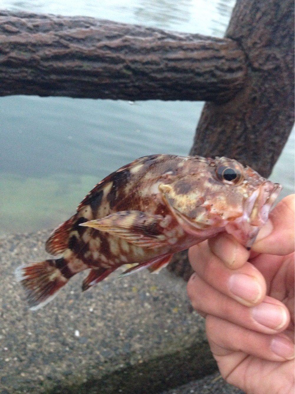 よっこちゃんさんの投稿画像,写っている魚はカサゴ