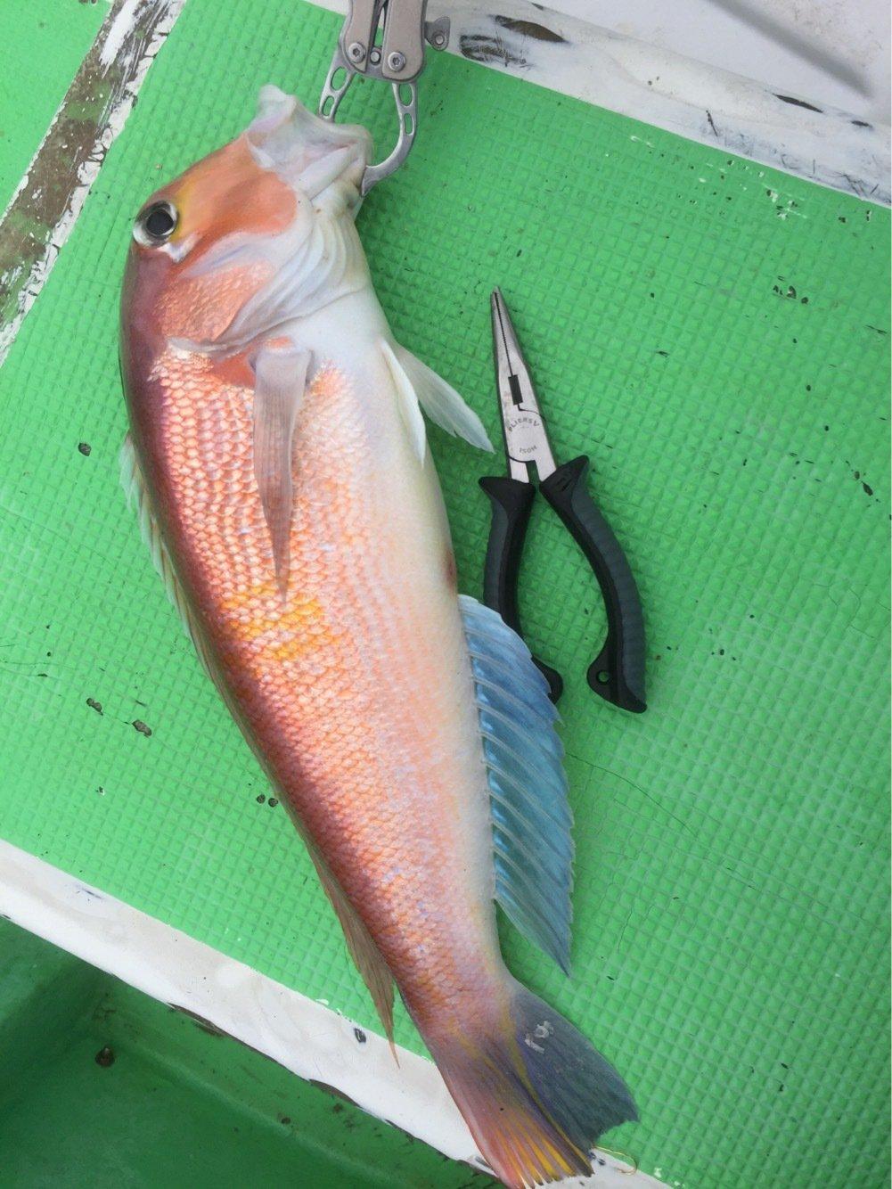 まるたさんの投稿画像,写っている魚はアマダイ