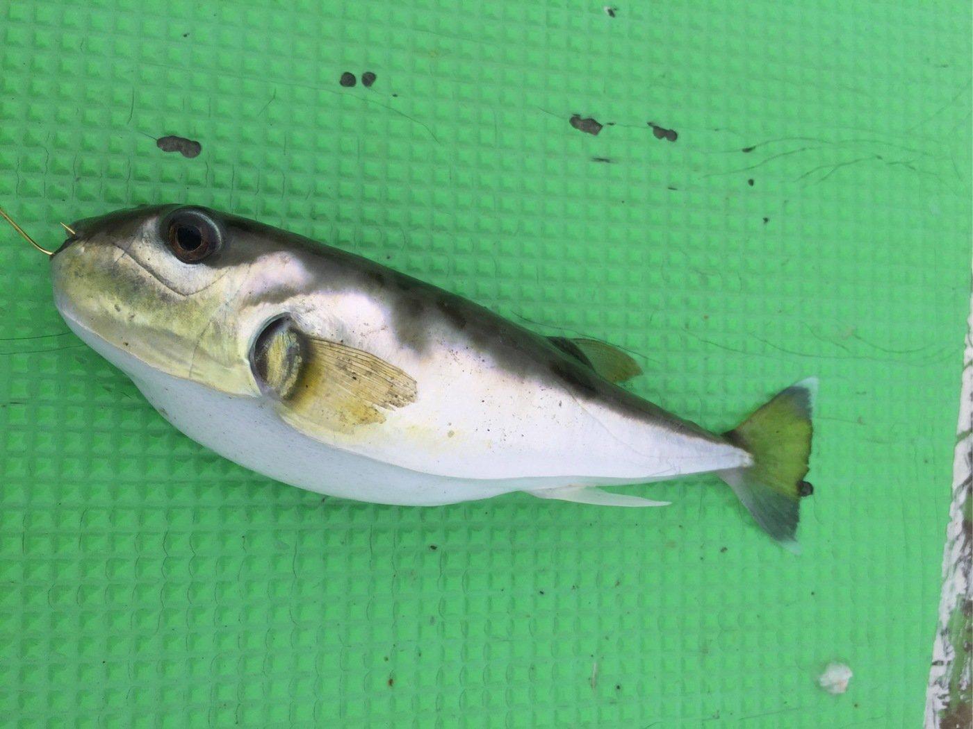 まるたさんの投稿画像,写っている魚はシロサバフグ