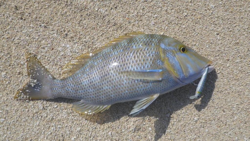 スズキリさんの投稿画像,写っている魚はハマフエフキダイ