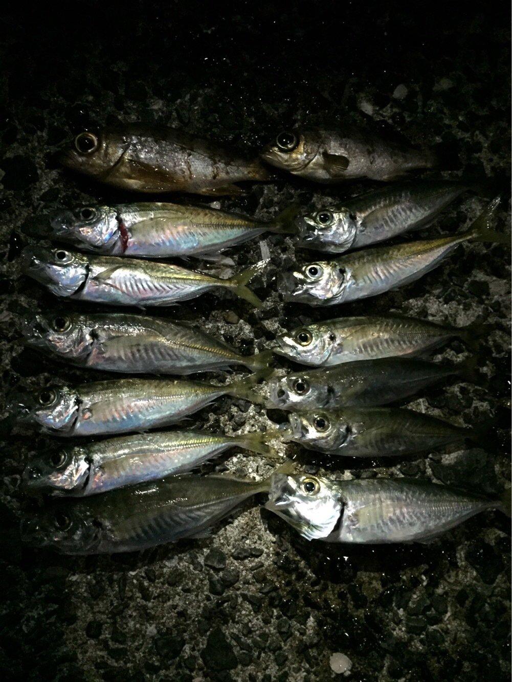 カズワタベさんの投稿画像,写っている魚はアジ,メバル