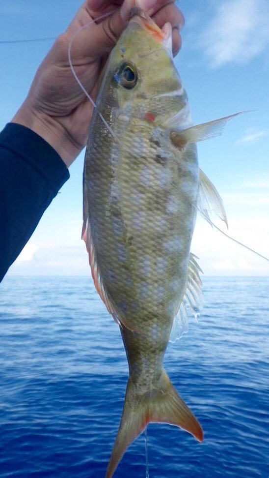 スズキリさんの投稿画像,写っている魚はホオアカクチビ