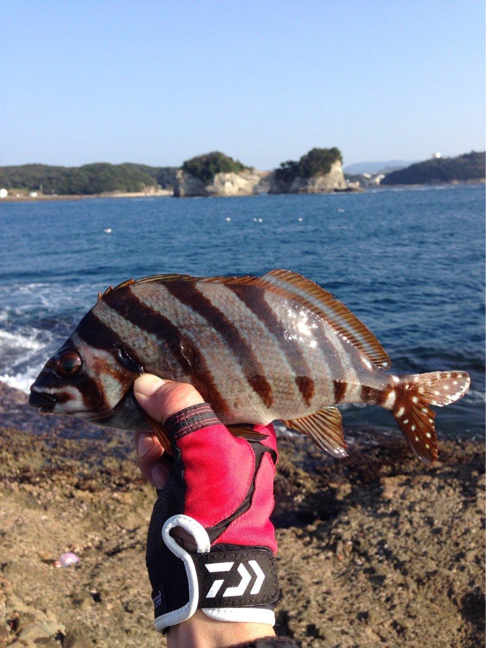 よっこちゃんさんの投稿画像,写っている魚はタカノハダイ