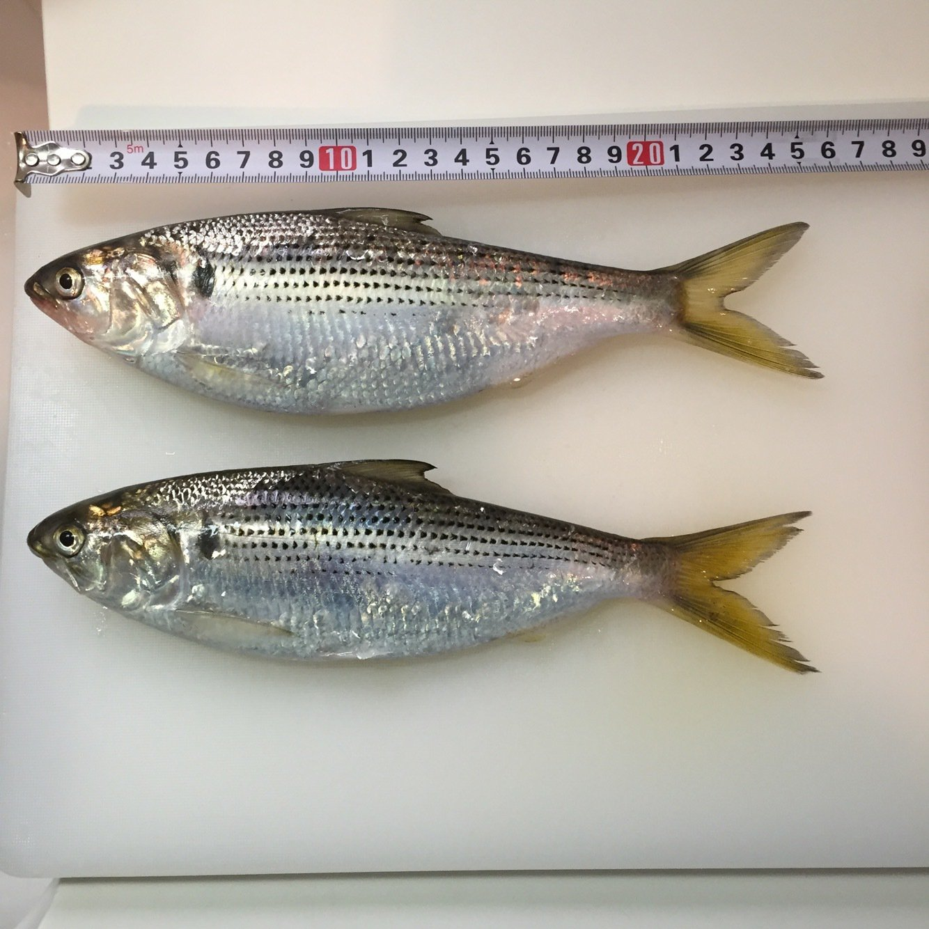まさひこさんの投稿画像,写っている魚はコノシロ