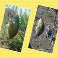 ヒロユキさんの長野県千曲市での釣果写真