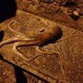 テナガダコの写真