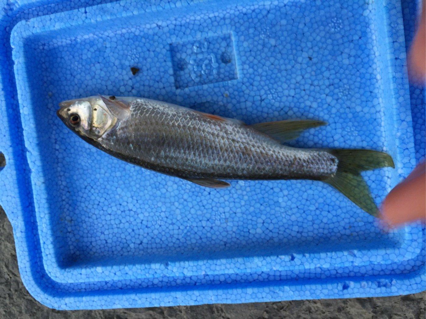 sJimさんの投稿画像,写っている魚はカワムツ