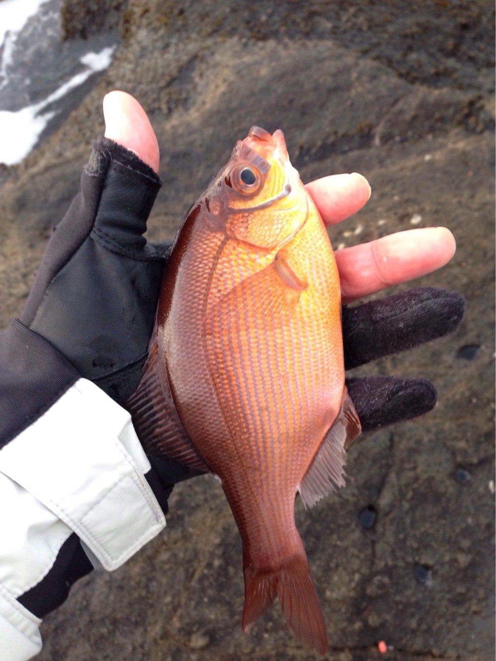 EKさんの投稿画像,写っている魚はウミタナゴ
