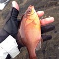 EKさんの千葉県でのウミタナゴの釣果写真