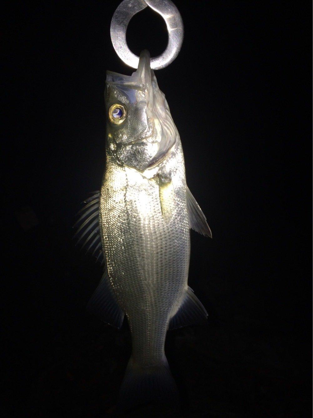 シーバスハンターさんの投稿画像,写っている魚はスズキ