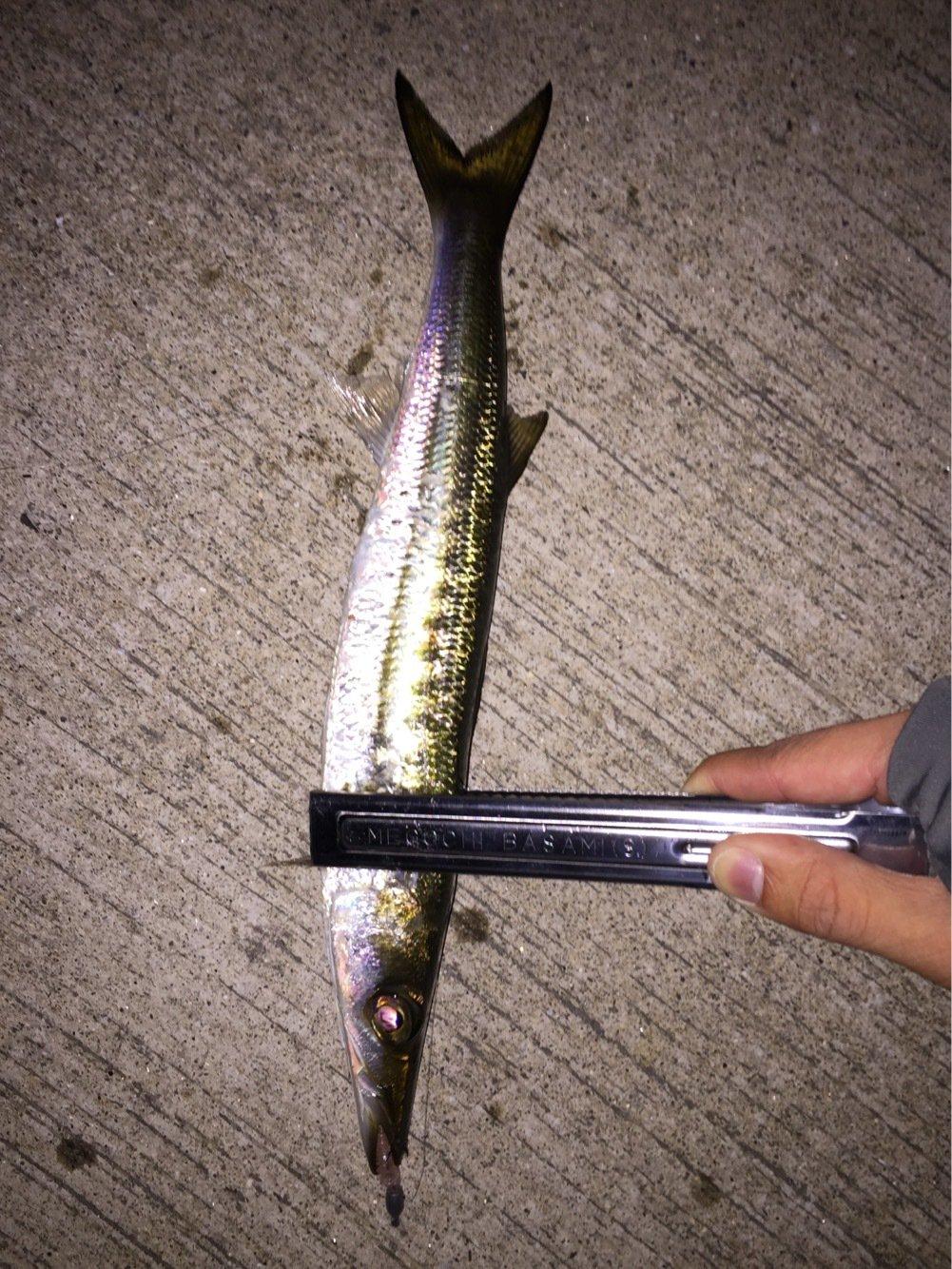 ヒローキさんの投稿画像,写っている魚はカマス