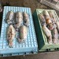 R.Nさんの福岡県古賀市でのアオリイカの釣果写真