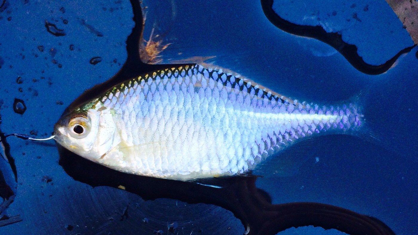 pavlovさんの投稿画像,写っている魚はタイリクバラタナゴ