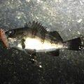 ベンジーさんの兵庫県加古川市でのシロメバルの釣果写真