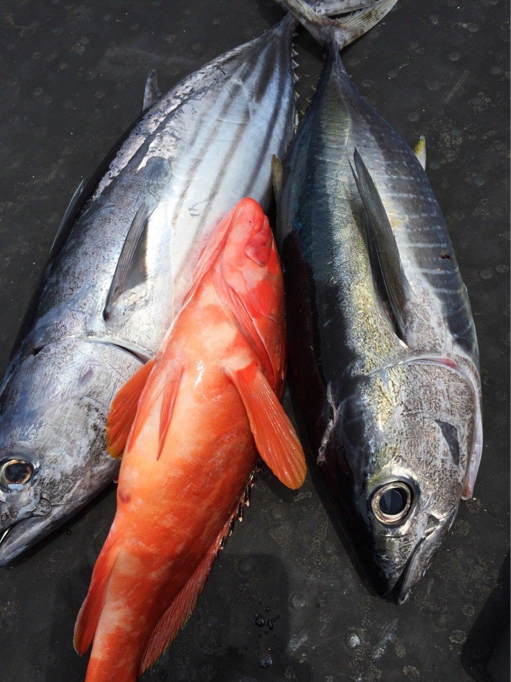 ヤマさんの投稿画像,写っている魚はカツオ