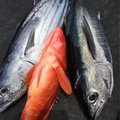 ヤマさんの鹿児島県鹿児島郡での釣果写真