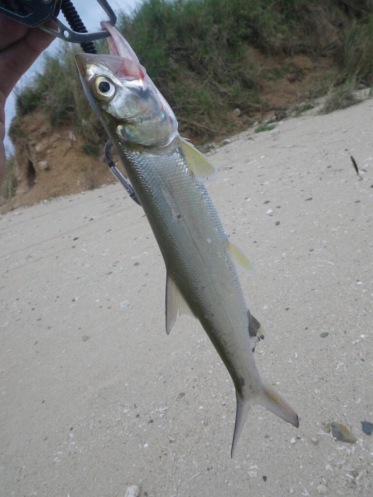 スズキリさんの投稿画像,写っている魚はカライワシ