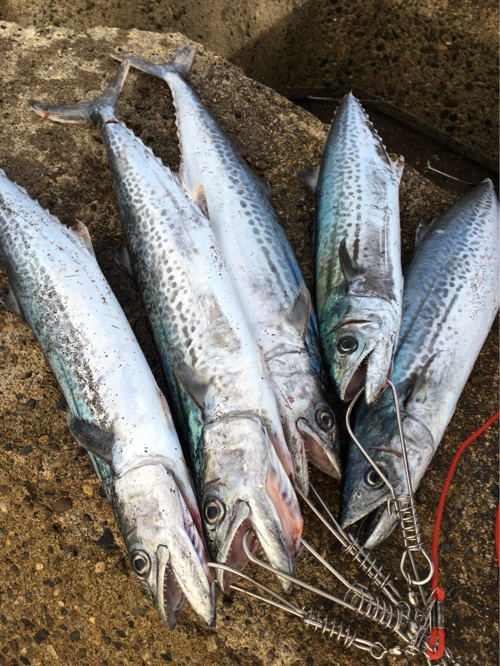 獅子丸さんの投稿画像,写っている魚はサワラ