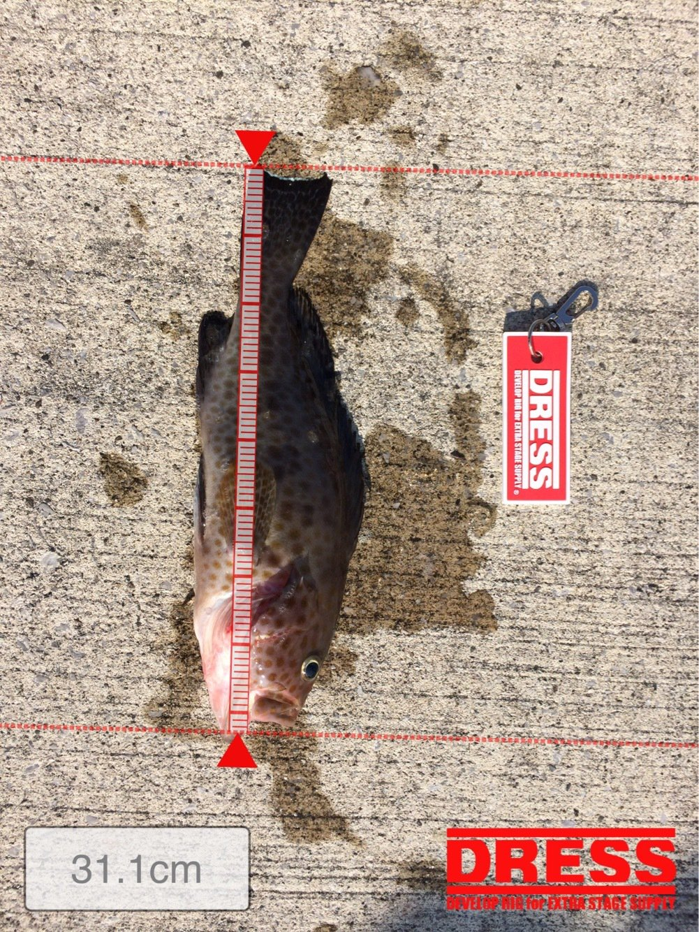 ゆうさんの投稿画像,写っている魚はオオモンハタ