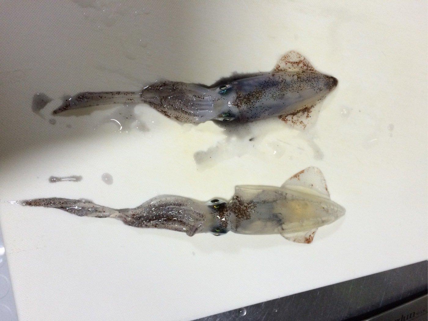 ひろさんの投稿画像,写っている魚はジンドウイカ