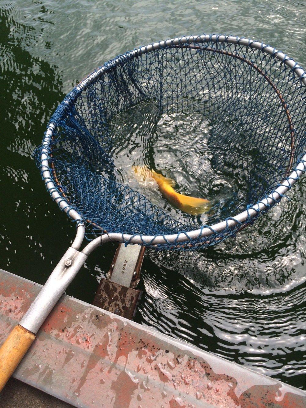 ビギさんの投稿画像,写っている魚はコイ