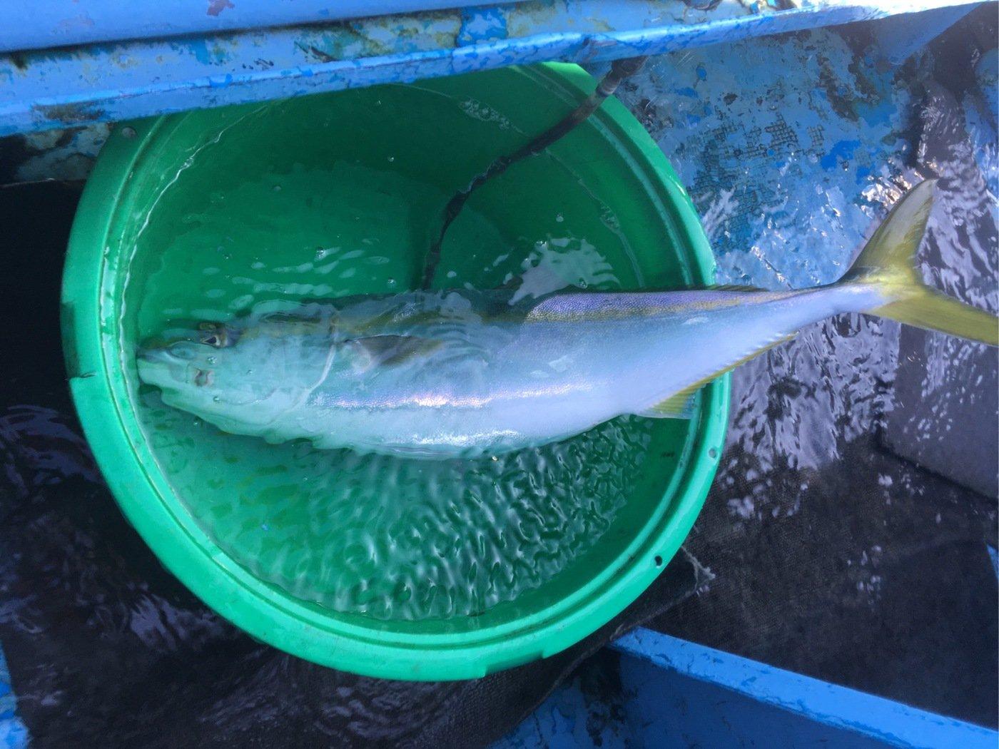 sshiratoさんの投稿画像,写っている魚はヒラマサ